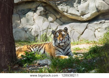 tiger in forest on green grass