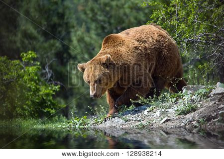 Bear in the woods on the banks of the river