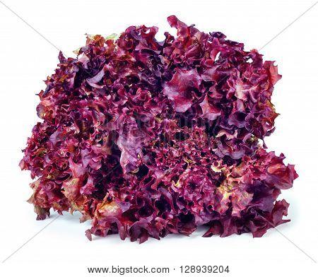 sheaf of purple lettuce Lollo Rosso isolate. Fresh vegetable salad Lollo Rosso