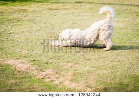 White furry dog stretching on the field