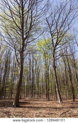 beech forest in spring near hilversum in the netherlands on sunny day with blue sky