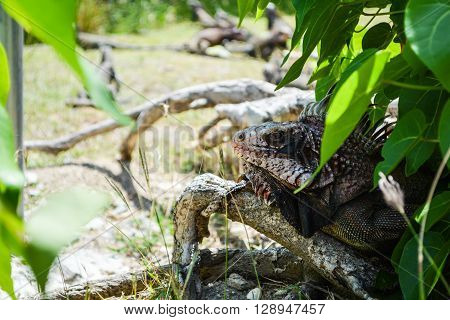 Iguana hiding in a shadow of a bush in sunshine day.