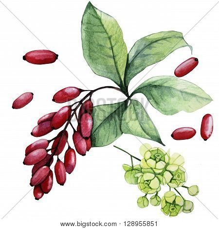Watercolor barberry set isolated on white background. Flowers and berries. Natural spices