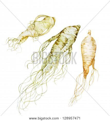 Watercolor ginseng root isolated on white background. Natural spices