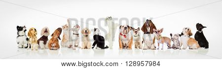 large group of curious dogs and cats looking up at something on white background