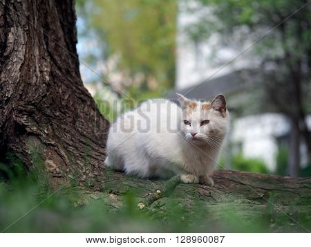 Street cat sitting in the grass near the tree. The cat is white. Sick animals, eyes fester. The concept of the problem of stray animals in the cities.