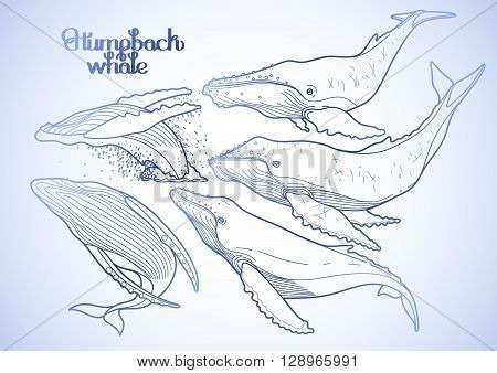 Collection of graphic humpback whales isolated on white background.  Giant sea and ocean creatures in blue colors. Coloring book page design