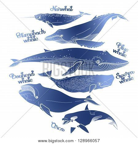Collection of graphic whales isolated on white background. Vector giant sea and ocean creatures in blue colors