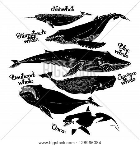 Collection of graphic whales isolated on white background. Vector giant sea and ocean creatures in black and white colors
