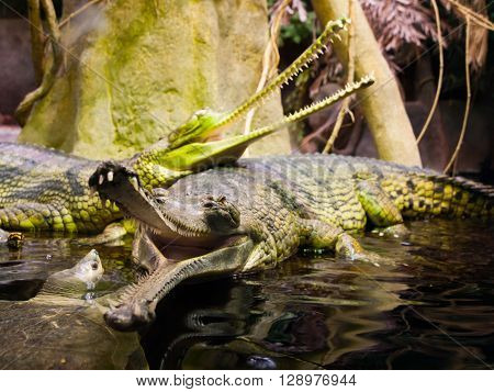 Gharial, or gavial - Gavialis gangeticus - with open mouth full of sharp teeth. Shallow depth of field.