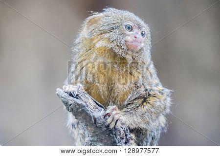 Callithrix pygmaea Pygmy marmoset in a brach