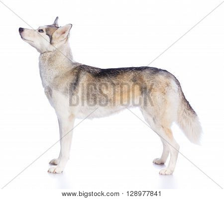 Siberian husky in studio on a white background