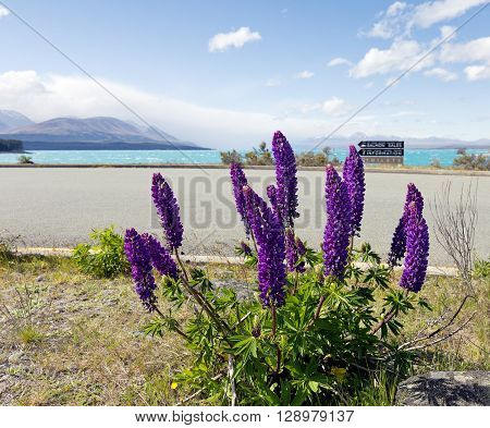 Lupines at the side of the road near Lake Pukaki.