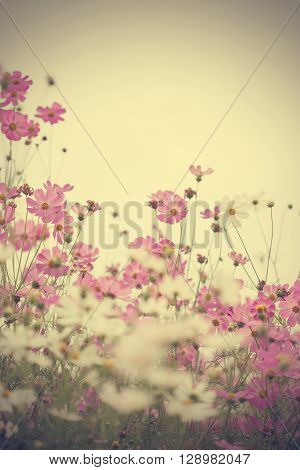 Pink cosmos flowers in garden close up. Pink cosmos flowers in garden close up background.