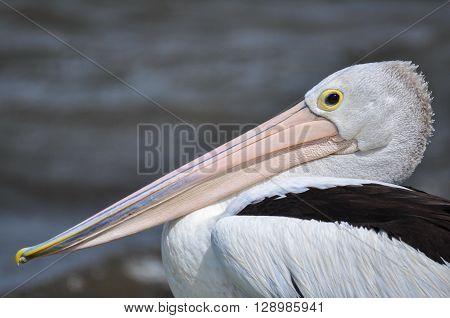 Pelican portrait. An Australian pelican 'posing' for a portrait.