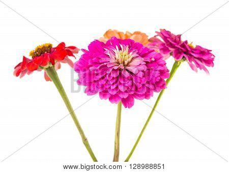 Isolated Zinnia Flower on white background, round, single,