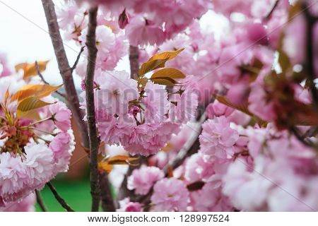 Beautiful flower cherry Blossom or sakura, Sakura Flower or Cherry Blossom With Beautiful Nature Background, cherry blossom in spring time