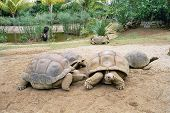 image of the hare tortoise  - beautiful giant turtles at park of mauritius - JPG