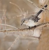 picture of mockingbird  - Northern mockingbird Mimus polyglottos perched on a tree branch - JPG