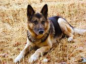stock photo of shepherdess  - A German sheperd dog portrait in the garden - JPG