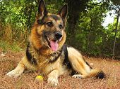 image of german-sheperd  - A german sheperd dog portrait in the garden - JPG