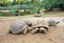 picture of the hare tortoise  - beautiful giant turtles at park of mauritius - JPG