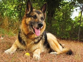 image of shepherdess  - A german sheperd dog portrait in the garden - JPG