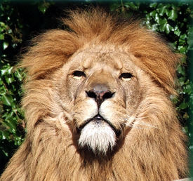 picture of lions-head  - male lions head photo in full show - JPG