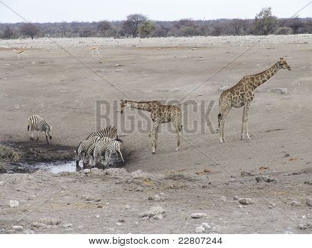 Giraffes near the pond watering