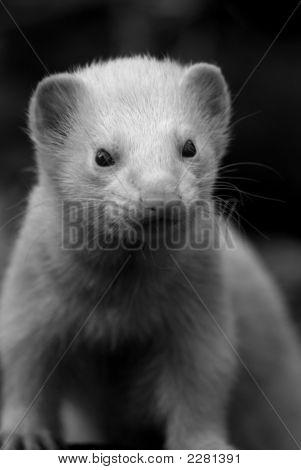 Ferret2