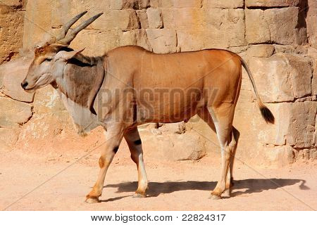Eland Antelope on a sandy hot environment