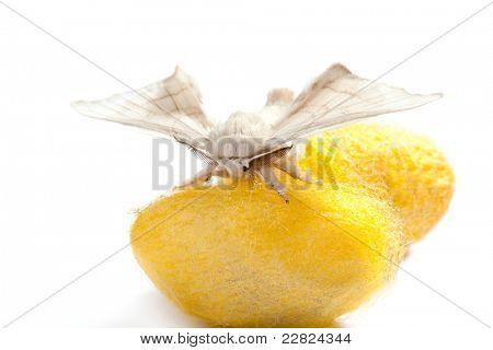Schmetterling Seidenraupe über gelbe Kokon auf weißem Hintergrund