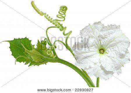 Lagenaria Vulgaris Flower