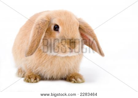 Brown-White Bunny On The Left Side Isolated