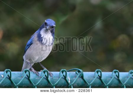Blue Jay On A Fence
