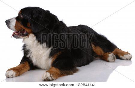 Portrait Of Laying Bern Sennenhund