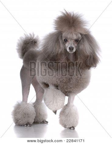 Retrato do Poodle