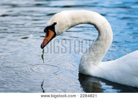 Eating Swan