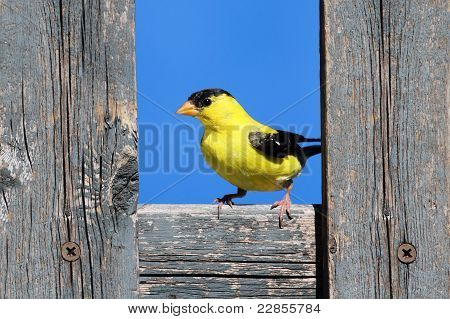 American Goldfinch On A Fence