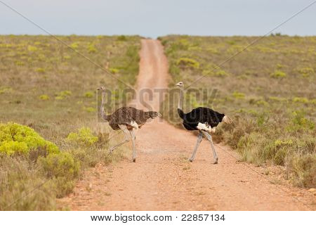 Couple of ostriches (struthio camelus) at the Bontebok National Park in South Africa.