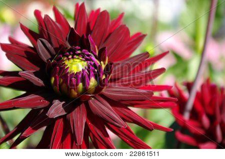 Scarlet dahlia flower