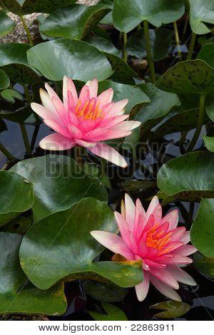 Um lótus ou nenúfar flor na Ásia.