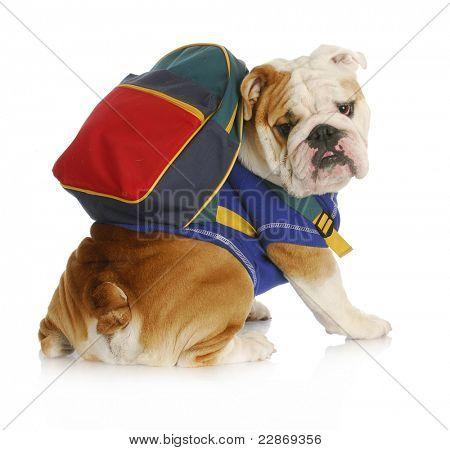 dog obedience school - english bulldog wearing blue shirt and matching back pack looking at viewer