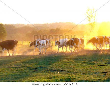 Amisch no Condado de vacas ao pôr do sol