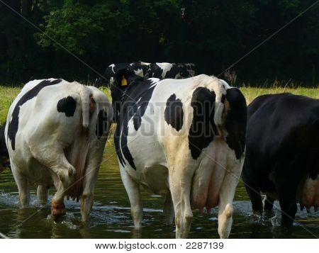 Vacas de Amish Country