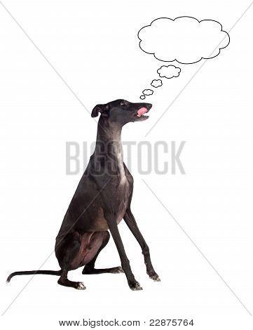 Greyhound Breed Dog Thinking