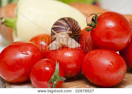 Achatina Snail