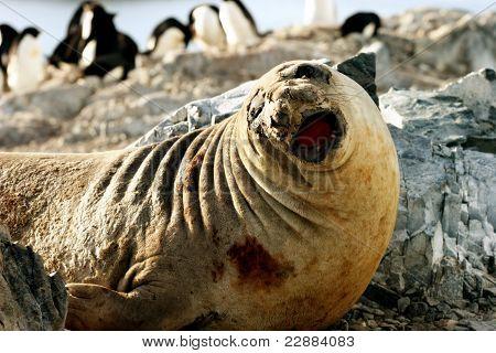Elephant Seal & Penguins