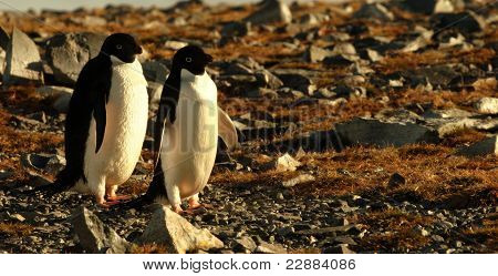 Twin Penguins