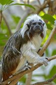 The Cotton-top Tamarin Is A Small New World Monkey Weighing Less Than 0.5 Kg. One Of The Smallest Pr poster